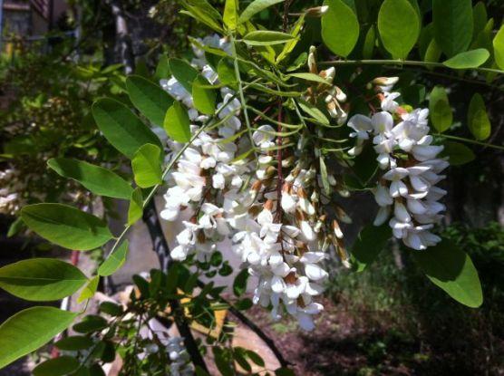 cvjetovi akacije na drvetu
