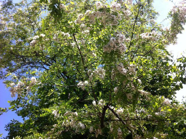 drvo akacije
